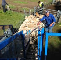 Sheep Dipping Contractors NSW VIC