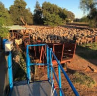 Sheep Dipping Contractors NSW Australia