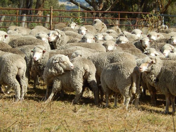 Sheep Dipping to eliminate lice